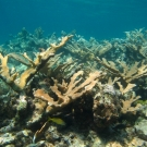 Elkhorn Coral with French Grunts and Seraeant Majors.