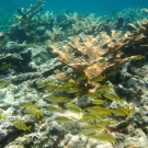 Elkhorn Coral with French Grunts and a juvenile Redband Parrotfish.