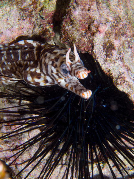 Dragon Moray with Black Longspine Sea Urchin