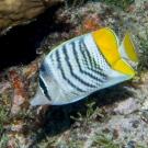 Yellowback Butterflyfish