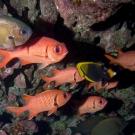 Big-Scale Solderfish