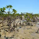 Red mangrove trees dominate the area around Camp Abaco where students participating in the B.A.M. program will plant their red mangrove seedlings.