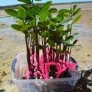 The red mangrove progagules were well cared for by the students. They grew nice and tall over the past 7 months.