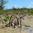 Red mangrove trees, like the seedlings the students have been growing, are often referred to as