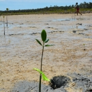 One of 135 red mangrove propagules that the students planted in the mangrove swamp during the B.A.M. program.