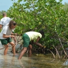Biology students look for healthy red mangrove propagule.