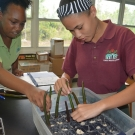 Students at Forest Heights Academy plant their mangrove propagules in the plat flat filled with pebbles.