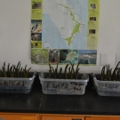 Experiment - Students will grow these mangrove seedlings over the next month to determine which type of media do the mangrove seedlings grow best in.