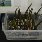 Ready to Grow - Mangrove seedlings in pebbles