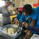 Abaco Central High School students plant their mangrove seedlings in a flat filled with sand. They too will grow their seedlings in the classroom over the next eight months.