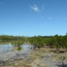 Red mangroves line the intertidal zone at Camp Abaco. Notice the many red mangrove seedlings that have taken root here.