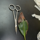 A potentially diseased leaf that has been dissected by a Forest Heights Academy student for the B.A.M. year 2 disease experiment.