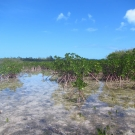 Red mangroves at Camp Abaco in Marsh Harbour, Bahamas