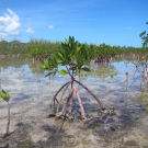 A healthy young red mangrove