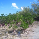 The red mangroves of Camp Abaco line the waters edge, which is typically where they are found.