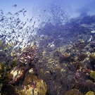 The reefs in BIOT were swarming with fish, the highest fish biomass we\'ve recorded on the GRE.  Photo: Anderson Mayfield/KSLOF