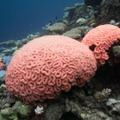 The reefs in BIOT bleached in cotton-candy coral shades of pink and blue. Photo: Philip G. Renaud/KSLOF