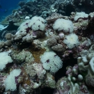 The corals were not the only things to bleach in the sunny, calm, waters, the anemones bleached too! Photo: Philip G. Renaud/KSLOF