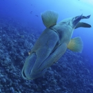 Diving the big blue corner with a humphead wrasse. ©Keith Ellenbogen/iLCP