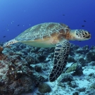 A Green Sea Turtle swims over the coral reef. Green sea turtles are listed as endangered by the IUCN and CITES and is protected from exploitation in most countries. ©Keith Ellenbogen/iLCP