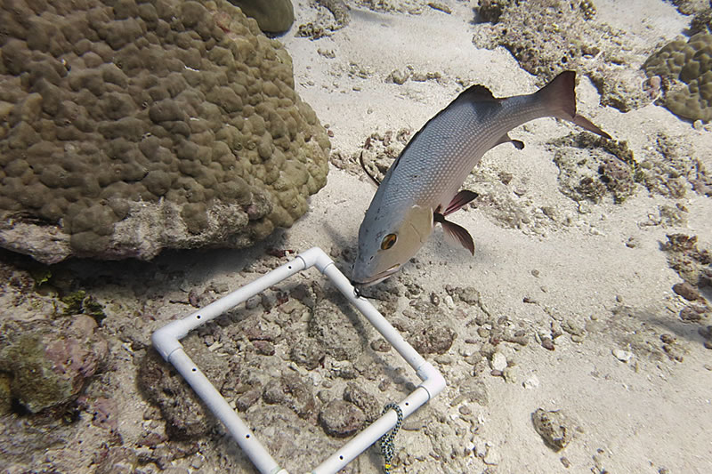 A curious red snapper (Lutjanus bohar) investigates a pvc quadrat used for counting coral recruits.