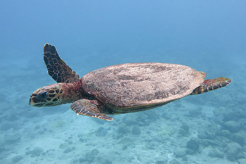 A green sea turtle (Chaelonia mydas) joins us on our safety stop.