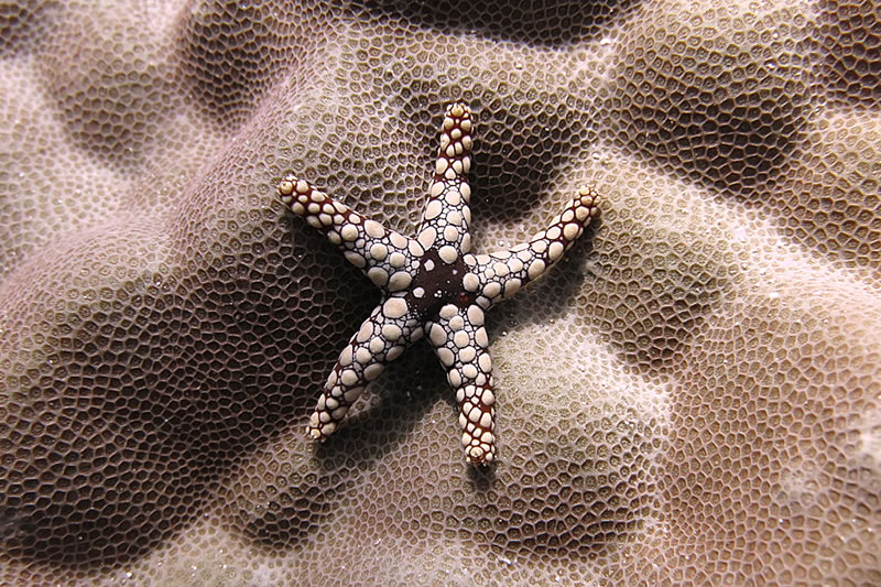 A noduled sea star (Fromia nodosa) sits atop a Porites colony.