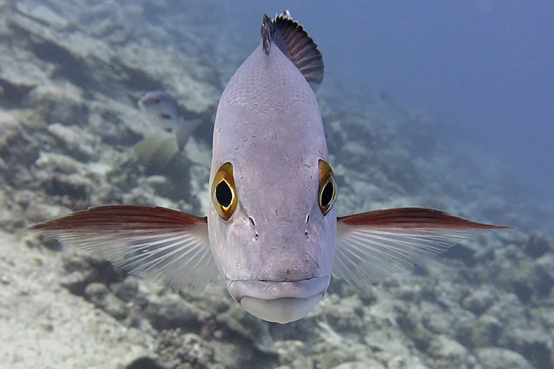 A red snapper (Lutjanus bohar) comes in for a close-up!