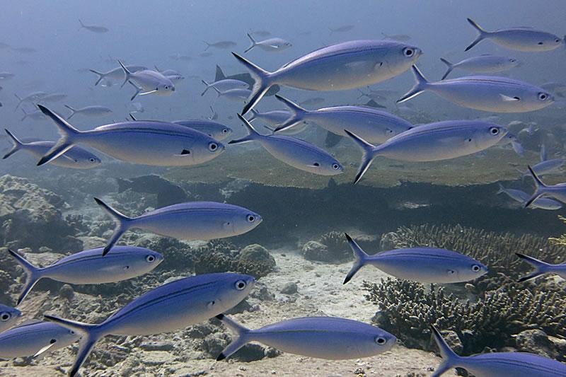 A school of bluestreak fusiliers (Plectrocaesio tile) cruises through the reef.