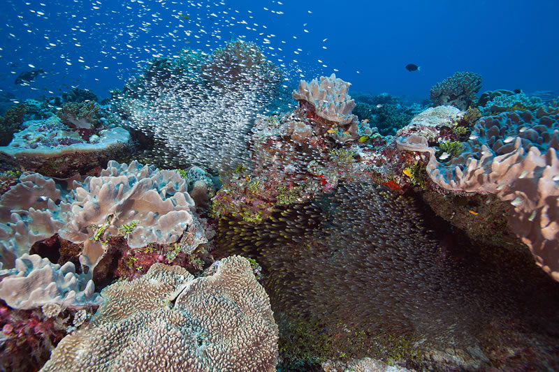 Dense cloud of Black-nosed Cardinalfish (Rhabdamia cypselurus) swarm out from under ledge.