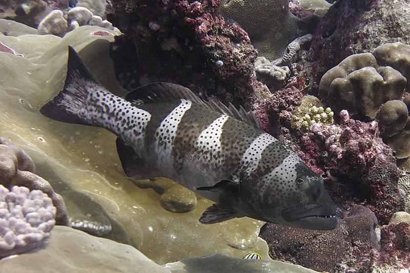Black saddle grouper (Plectropomus laevis).