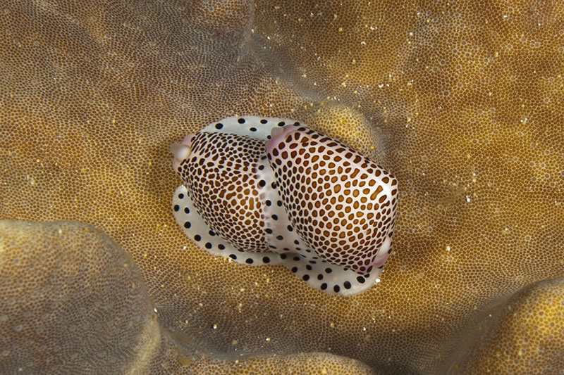 Shortly after spotting a pair of Common Egg Cowries (Ovula ovum) feeding on leather coral we continued to search other leather corals for more cowries. Soon we happened upon a pair of Black-spotted Egg Cowries (Calpurnus verrucosus) which took the opportunity of encountering each other to reproduce.