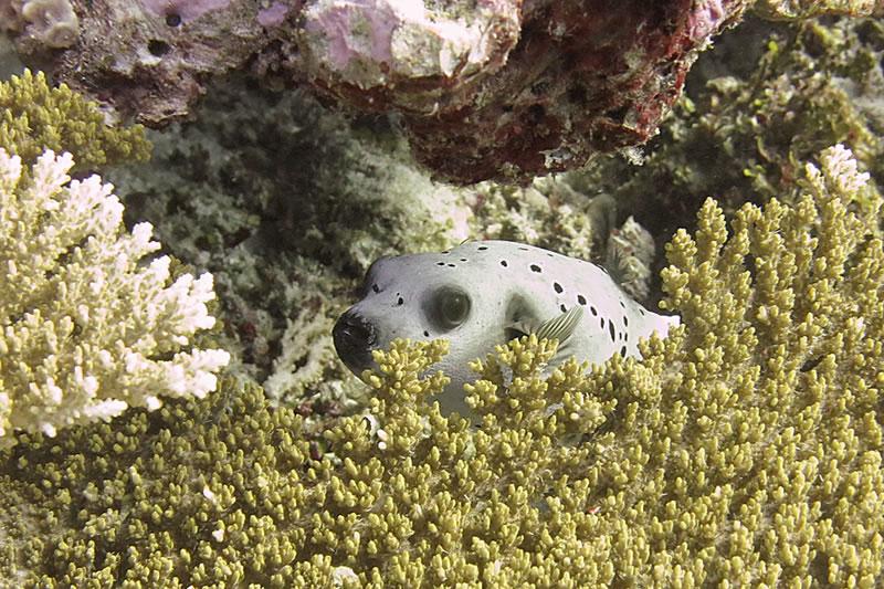 Blackspotted puffer (Arothron nigropunctatus).
