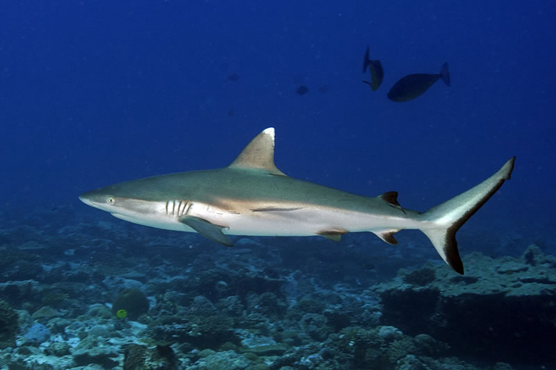 Blacktail Reef Shark (Carcharhinus wheeleri) considered by some scientists to be the same as the Grey Reef Shark (Carcharhinus amblyrhynchos) but has a white-tipped dorsal fin (among other differences).