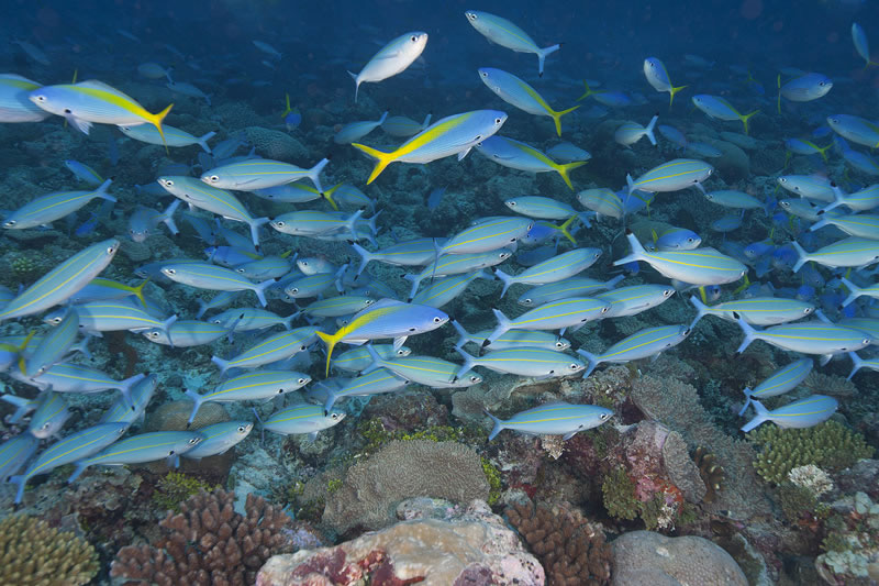 Mixed school of Blue and Yellow Fusiliers (Caesio teres) and Double-lined Fusiliers (Pterocaesio digramma).