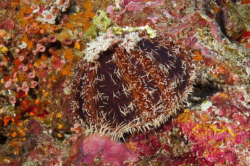 Cake Urchin (Tripneustes gratilla).