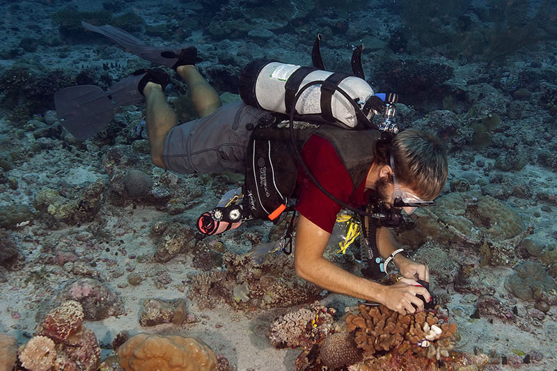 Anderson Mayfield photographing a pale branch of the Cauliflower coral, Pocillopora verrucosa, that he is about to take a small sample from for later analysis which may lead to an answer as to why this portion of the colony had lost their algal symbionts and bleached.