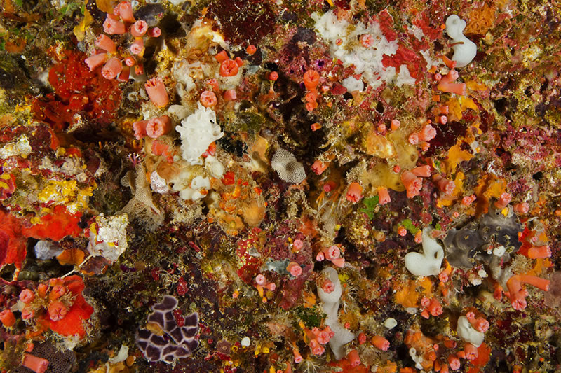 Ceiling of an overhanging ledge is a dazzling coloful display of sponges, tunicates, bryozoans and cup corals.