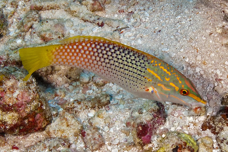 Checkerboard wrasse (Halichoeres hortulanus) eating a small crab it just pulled from the rubble.