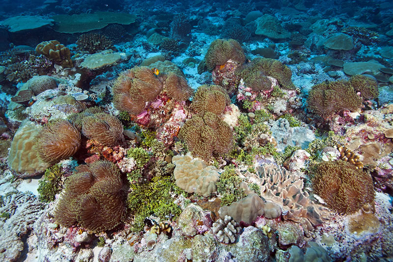 Cluster of 13 Magnificent Anemones (Heteractis magnifica) with only a single pair of anemonefish claiming the lot.