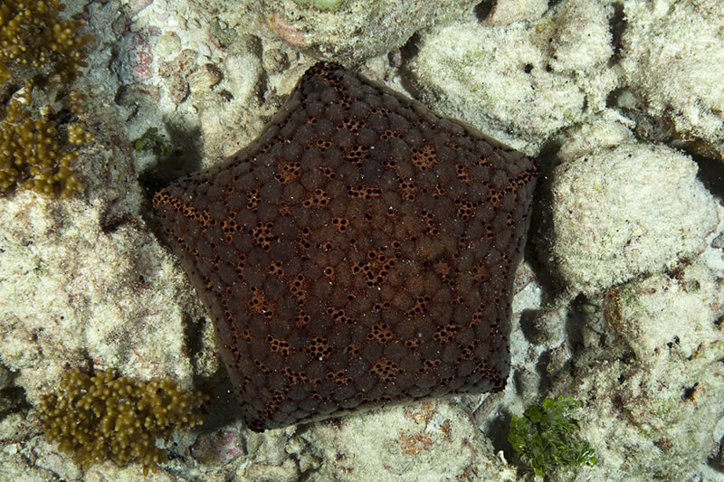 Cushion Stars (Culcita sp.) with an interesting tesselated and spotted pattern.