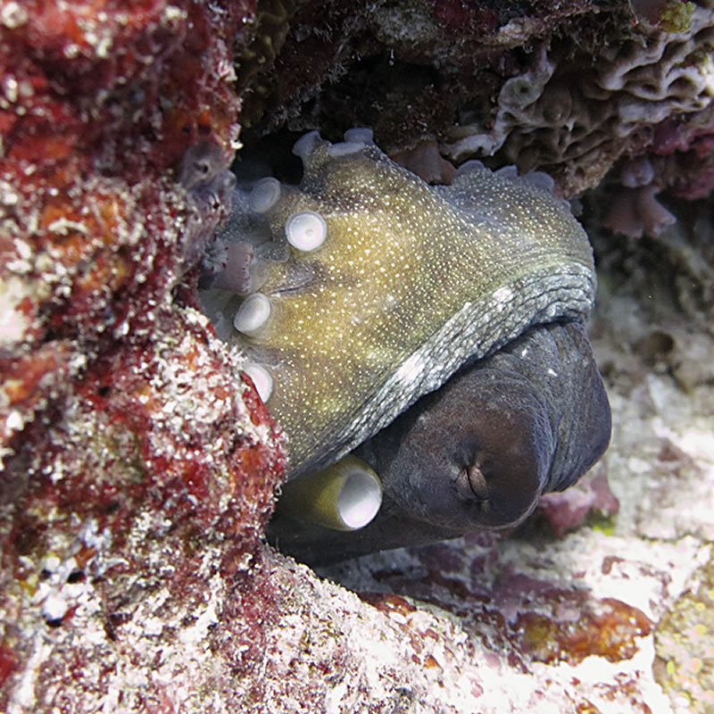 Day octopus (Octopus cyanea).