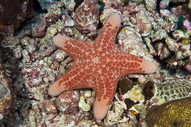 Granular Sea Star (Choriaster granulatus).