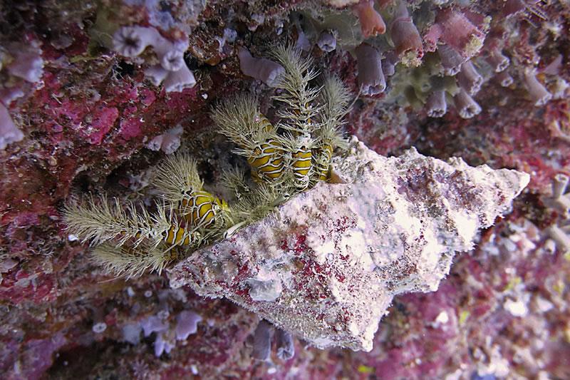 Hairy yellow hermit crab (Aniculus maximus).