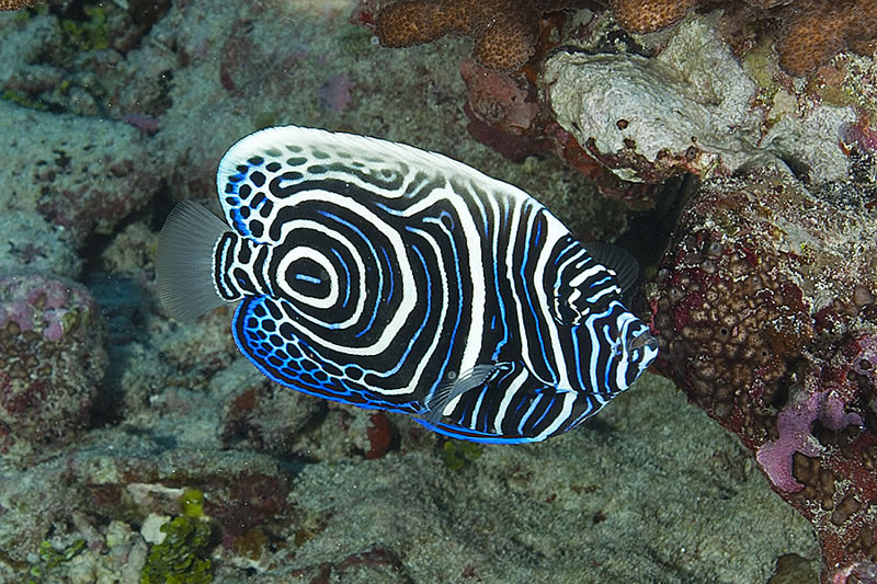 Juvenile Emperor Angelfish (Pomacanthus imperator).
