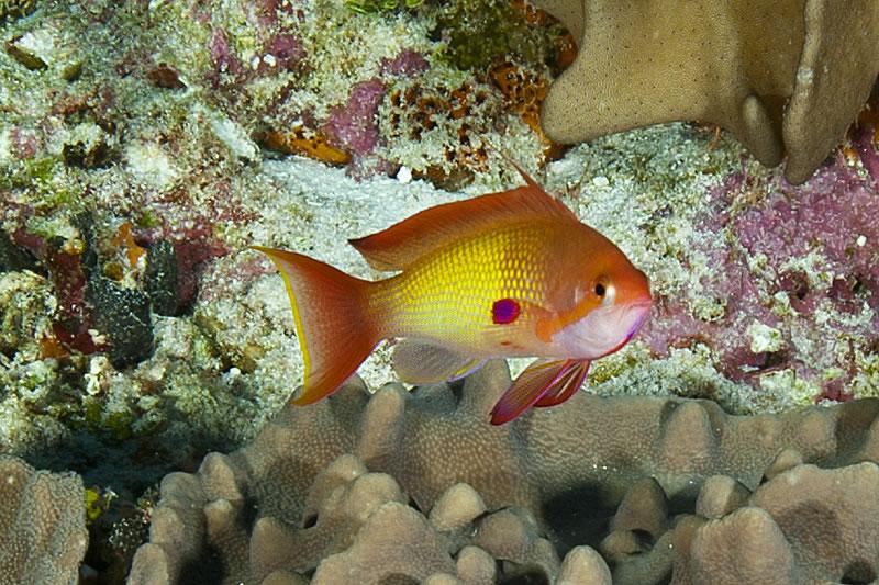 Male Scalefin Anthias (Pseudanthias squamipinnis).
