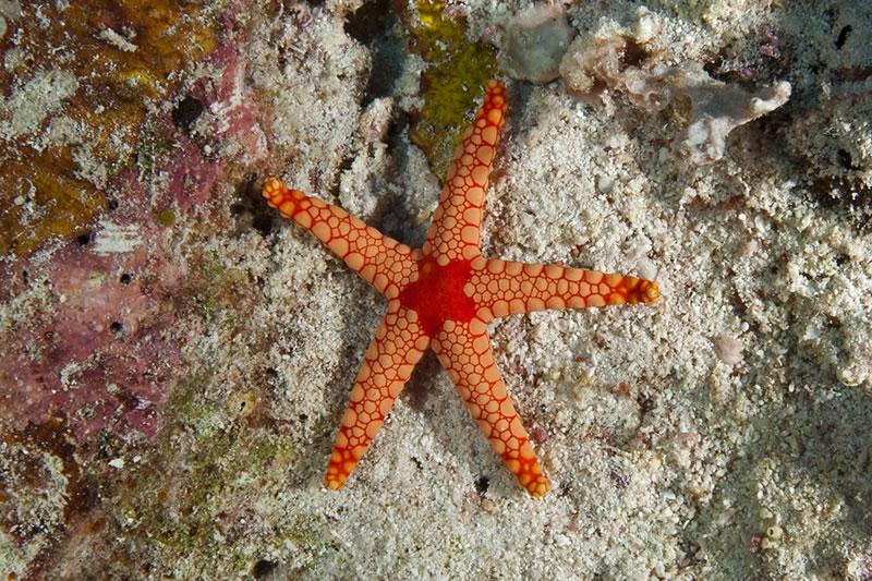 Noduled Sea Star (Fromia nodosa).