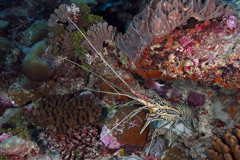 Painted Spiny Lobster (Panulirus versicolor) comes out from its hiding spot under a ledge.