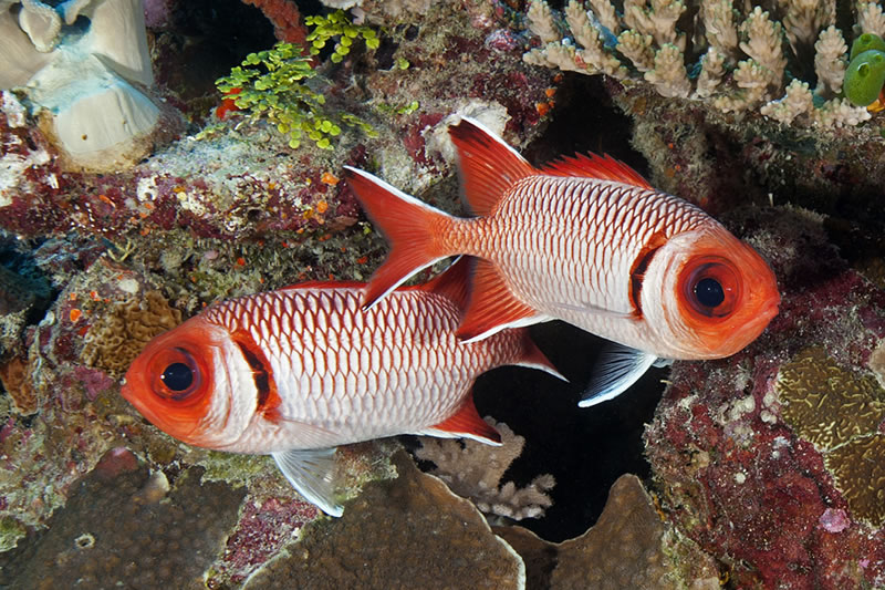 Pair of Splendid Soldierfish (Myripristis botche) displaying large eyes and bold colors and markings.