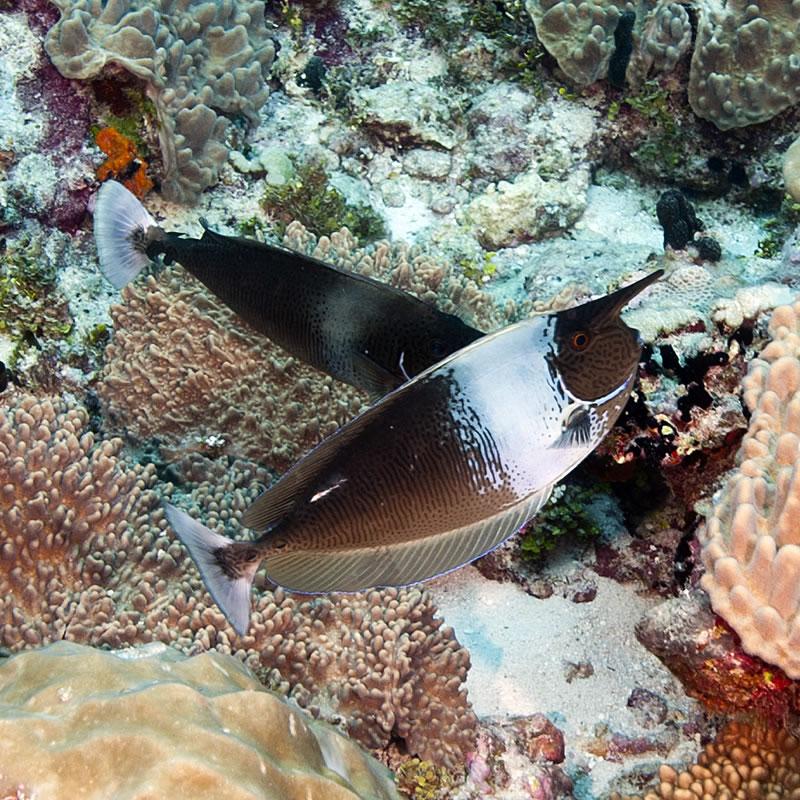 Pair of Spotted Unicornfish (Naso brevirostris).